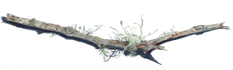 Broken Branch with Lichen. Watercolor illustration.